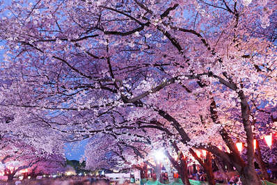 Kyoto's world famous cherry blossoms attract many tourists