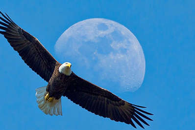 Bald eagle soaring with the afternoon moon