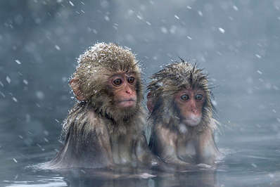 Two young Japanese snow monkeys keeping warm in the hot springs