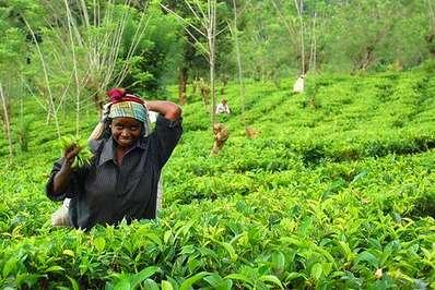 sri-lanka-tea-gardens-of-sri-lanka-1