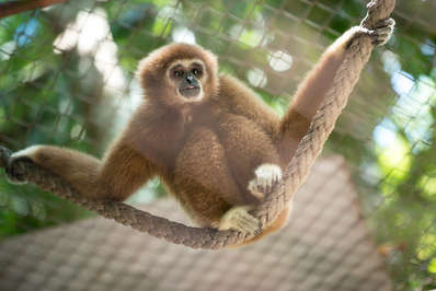 A cuddly young gibbon at Phuket's Gibbon Rehabilitation Project