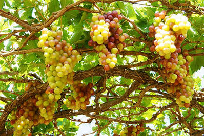 Grapes on the vine in Vietnam