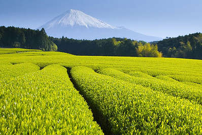 Green tea fields with Mount Fuji in the background