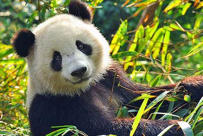 Giant Panda feeding on bamboo