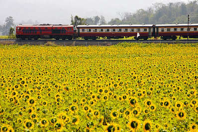 During-December-there-are-special-train-trips-to-see-Thailand's-sunflower-fields