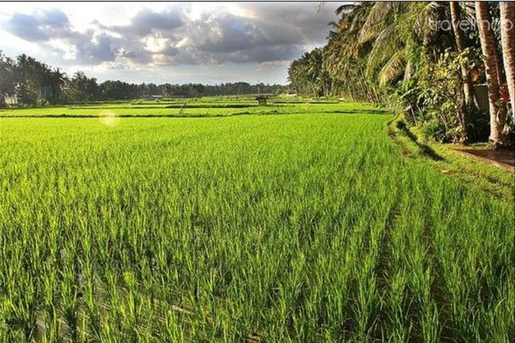 T House rice fields (Lodtunduh Village)